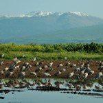 Birding at HaHula pond